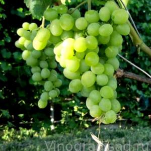 Восторг -  Столовые сорта винограда. -  Черенки винограда