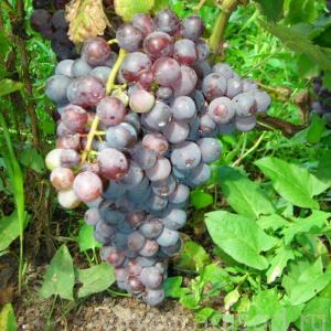 Русский фиолетовый -  Столовые сорта винограда. -  Черенки винограда