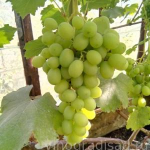 Лора (Флора) -  Столовые сорта винограда. -  Черенки винограда