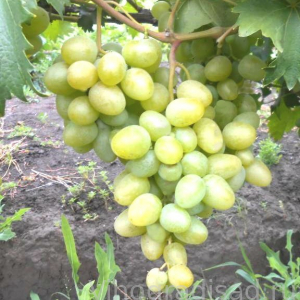 Монарх (Павловского)  -  Столовые сорта винограда. -  Черенки винограда